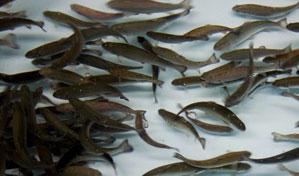 Fisheries Technology